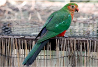 Wild Australian king parrot (Alisterus scapularis) with early clinical signs of Psittacine Beak and Feather Disease (PBFD).