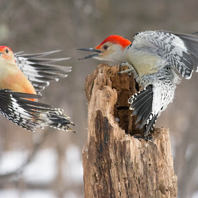 Food Fight by Susan Hughes - Animals Birds ( red-bellied woodpeckers )