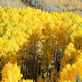 Golden Aspen Forest by Rob Bradshaw - Landscapes Forests ( sunrise ski resort, aspen forest, colorado, aspens, golden leaves,  )