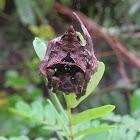 Abandoned-web Orb-weaver Spider