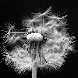 by Carola Mellentin - Black & White Flowers & Plants (  )