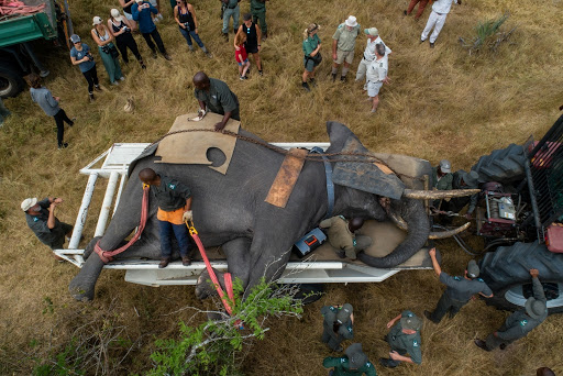 Drama and emotion in an elephant relocation mission