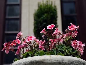 Photo: Geraniums