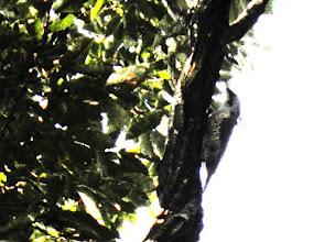 Photo: 撮影者:佐藤サヨ子 アオゲラ タイトル:爽やかな秋晴れの緑の中に 観察年月日:2015年10月15日 羽数:1羽 場所:高幡台団地緑地 区分:行動 メッシュ:武蔵府中3H コメント:3~4羽のヒヨドリが飛び交う中で登ってゆく鳥を見つけ確認するとアオゲラだった。ちょっと遠すぎましたが。