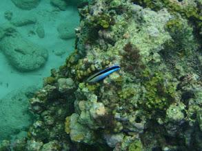 Photo: Labroides dimidiatus (Cleaner Wrasse), Siquijor Island, Philippines