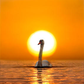 Swan Song by Adrian Campfield - Landscapes Sunsets & Sunrises ( clouds, shore, water, orange, white, sea, reflections, yellow, beach, feathers, birds, coast, shadows, sky, mute swans, amber, sunset, tide, silhouettes, gold, wet, black,  )