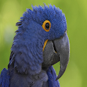 Blue Parrot Live Wallpaper icon