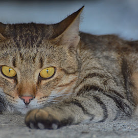 by Pe Tra - Animals - Cats Portraits