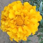 Marigold/ Gyenda phool
