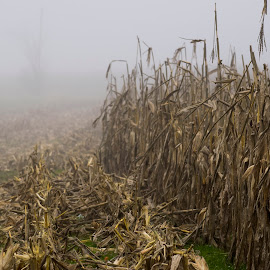by Vicki Switala Riley - Landscapes Weather ( foggy, corn, outdoor photography, mist, outdoor, corn field, foggy weather, haze, outdoors, outside, haverst, landscape, fog,  )