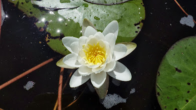 Photo: Scented Pond Lily