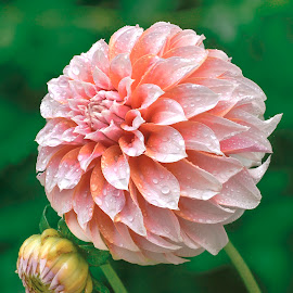 Dahlia Opening by Jim Downey - Flowers Single Flower ( pink, peachy, green, blossuming, dewy )