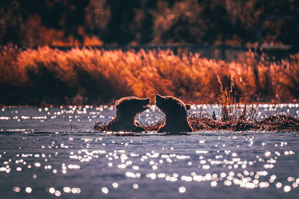 Bears in the water