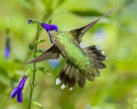 Photo: getting to the heart of Salvia guaranatica