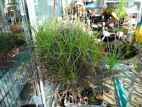 Photo: Drosophyllum lusitanicum