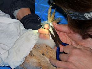 Photo: A metal leg band is applied which will identify the owl if found later