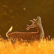 Сонник олень