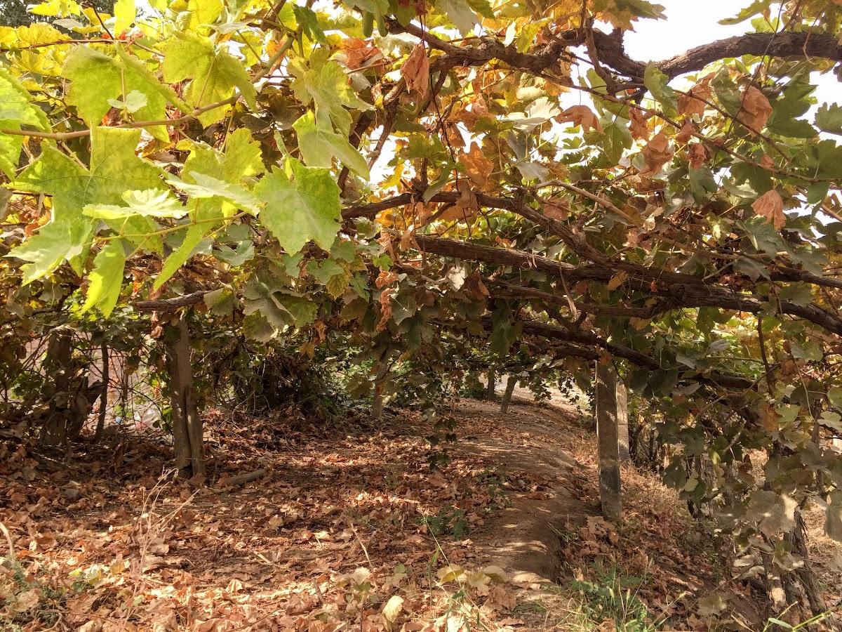 China. Xinjiang Turpan . Fall Colors in the vineyards.
