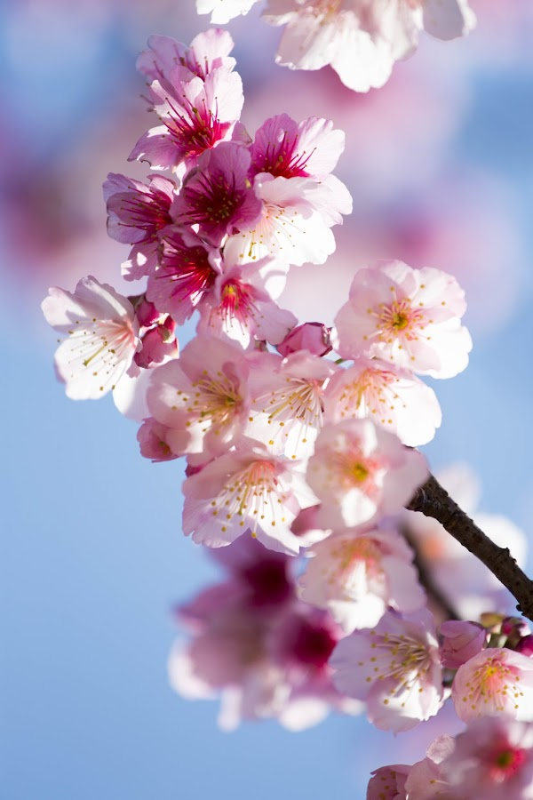 Sakura  by 俐慧 李 - Nature Up Close Flowers - 2011-2013