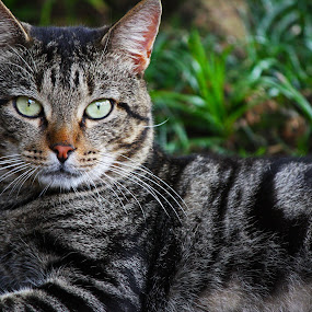 Villas Cat by Nicolas Los Baños - Animals - Cats Portraits ( cat, animals, park, stray, gray, tabby, Backyard, insects, reptiles, living creatures, green, colors, daily life )