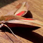 Pale striated hawkmoth ♂