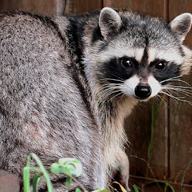 Rene 922~Q by Raphael RaCcoon - Animals Other Mammals