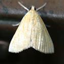 White-Roped Glaphyria