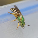 Honey-bellied Green Bee
