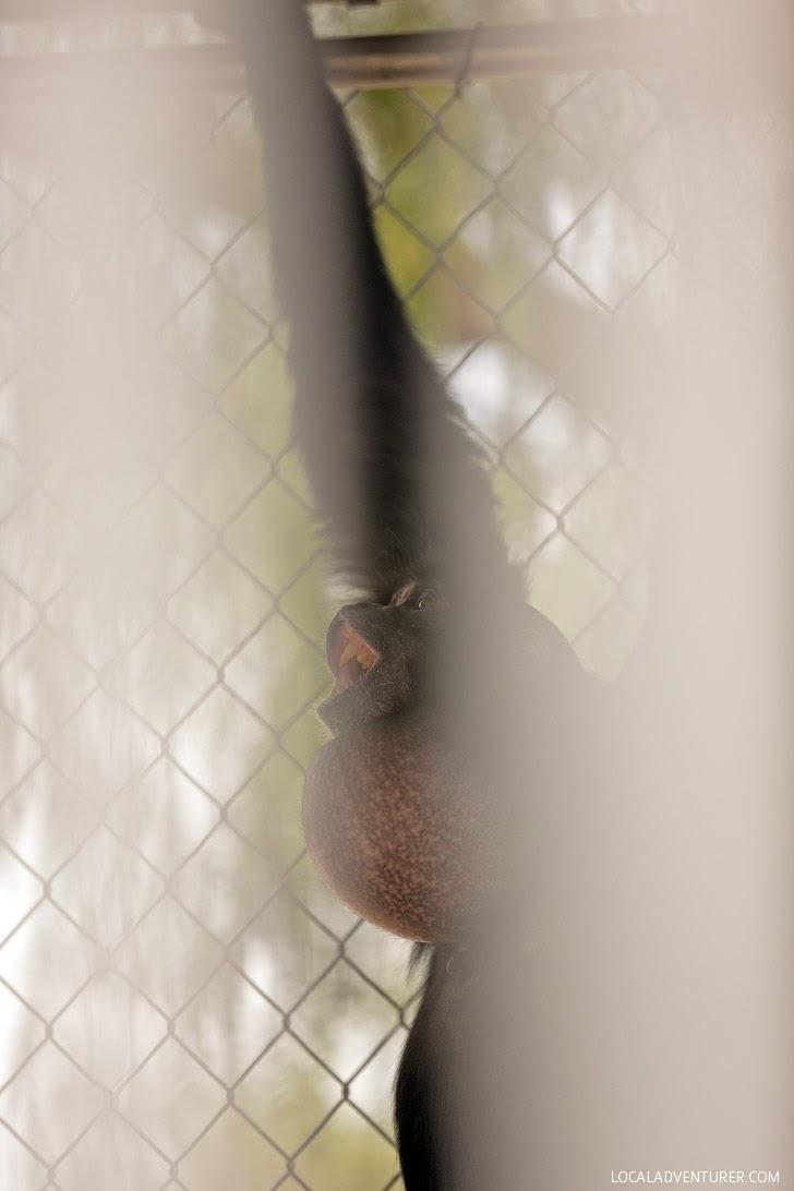 Siamang Gibbon Call at the Gibbon Conservation Center in Santa Clarita.
