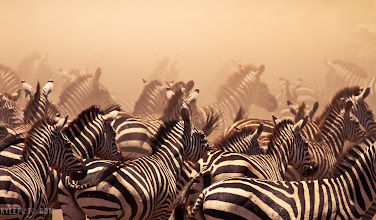 Photo: Zebras in the dust On Safari in Tanzania, Serengeti, for wildlife wednesday #wildlifewednesday  During the great migration countless zebra and wildebeest move through the Serengeti, following the rains that move cyclicly through Kenya and Tanzania. The amazing thing about this is moments before these zebra were nowhere to be seen, and upon arriving back to the river side we were inundated with this herd that went on as far as the dust allowed us to see.  These zebra were frantically running to the river to quench their thirst, always aware of the Crocodiles lurking, there was one in the river, but it was full. Nevertheless a zebra would get spooked and the entire group would abandon the river at once, kicking up dust and lining themselves up like this. It's something we spent the whole day doing, it was fantastic.  This was taken on my Kenya & Tanzania Photographic Safari last February, if you or anyone you know likes to travel and take photos this is the best way to see the wonder that Africa has to offer while getting the greatest photos possible. I love sharing my techniques, and it was a pleasure travelling with such talented photographers. I have two more trips in February and September 2012, to find out more check out my workshops here: http://www.kylefoto.com/category/workshops/