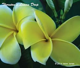 Photo: Thornton Lemon Drop - San Diego, CA - North County Coastal