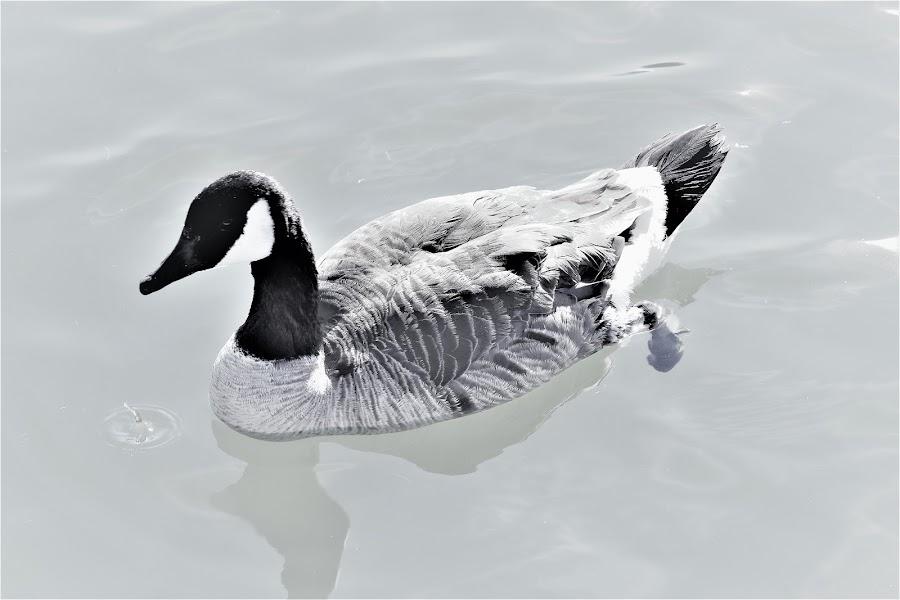Canada Goose  by Linda    L Tatler - Black & White Animals