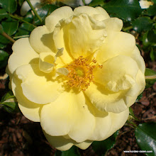 Photo: Bodendecker Sunny Rose®, Züchter: W. Kordes' Söhne 2001