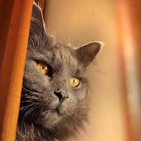 Peeka Boo by Corinne Noon - Animals - Cats Portraits ( cats, animals, fur, portraits, eyes )