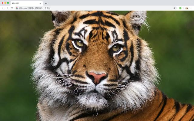 Tiger Popular Animals HD New Tabs Theme