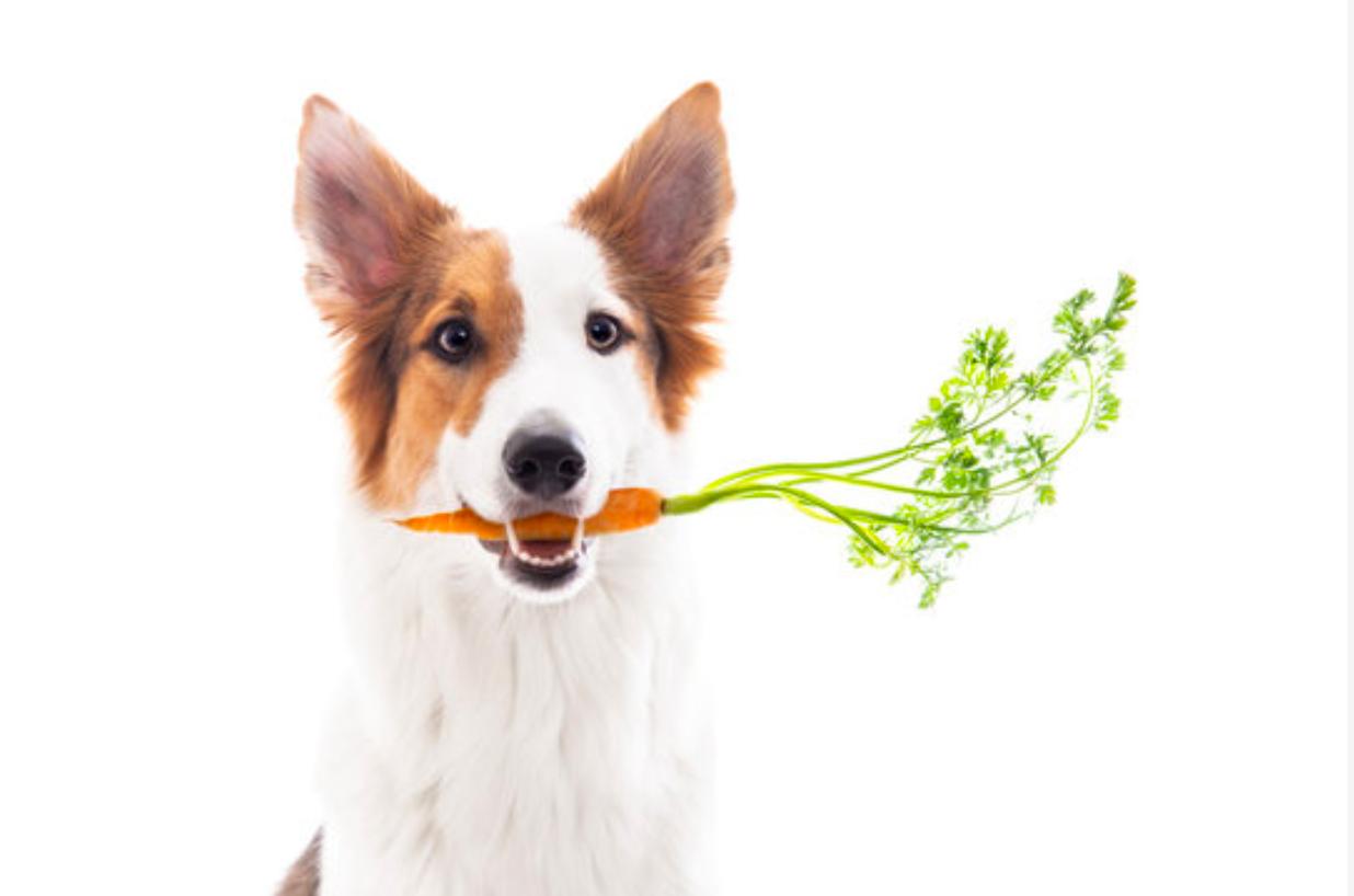 Uma imagem com cão, mamífero, sentado, olharDescrição gerada automaticamente