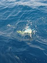Photo: シイラが途中で食らいついて ジグが沈みません!
