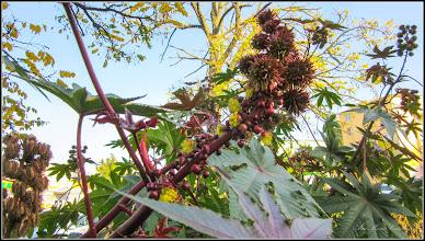 Photo: Ricin (Ricinus communis) - din Turda, de pe Str. Rapsodiei, Nr.3, spatiu verde - 2018.10.31