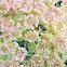 Wyeth Buckwheat