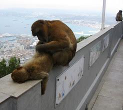 Photo: Gibraltarin päänähtävyys: apinat