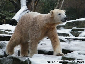 Photo: Knut spaziert frohgemut ueber die Anlage :-)