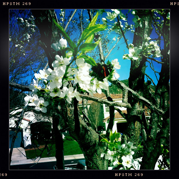 Photo: an Painted Lady on my plum blossoms