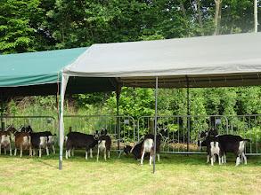 Photo: Deze fokkersdag staat in het teken van de zwarte toggenburger. 14 dieren zijn aanwezig, zowel bruin als zwart.