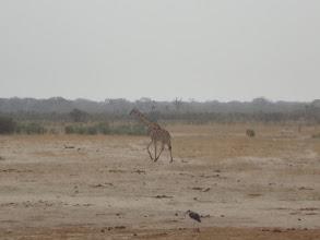 Photo: A giraffe and a pelican