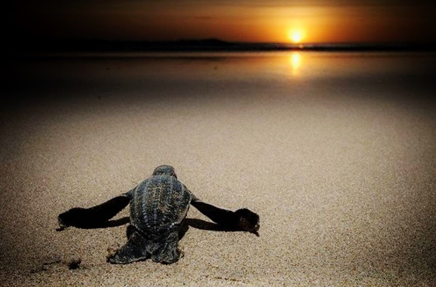 sunset on the beach by Ricardo Carvalho - Animals Sea Creatures ( sunset, turtle )