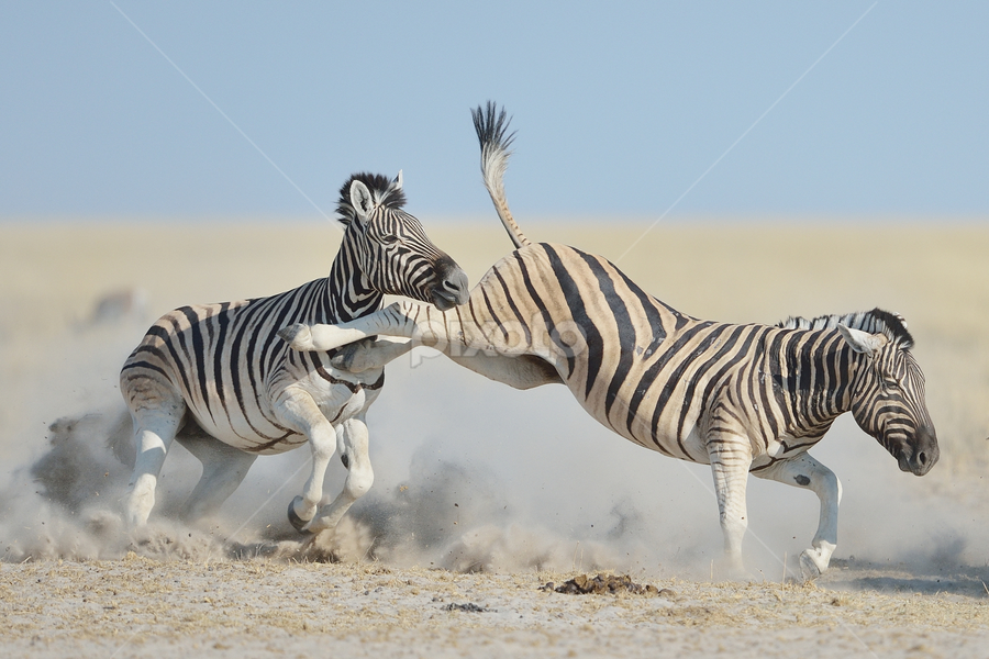 Zebra kick by Neal Cooper - Animals Other Mammals ( kick, etosha, namibia, zebras )