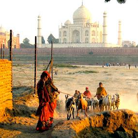Taj Mahal lambs by Eason Jordan - Landscapes Travel