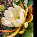 Dutchman's Pipe Cactus