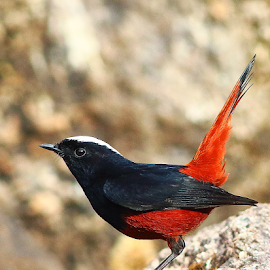 White capped redstart by Nelson Thekkel - Animals Birds