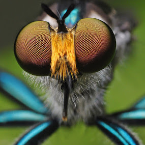 Blue Metalic Rober by Setiady Wijaya - Animals Insects & Spiders ( rober fly )